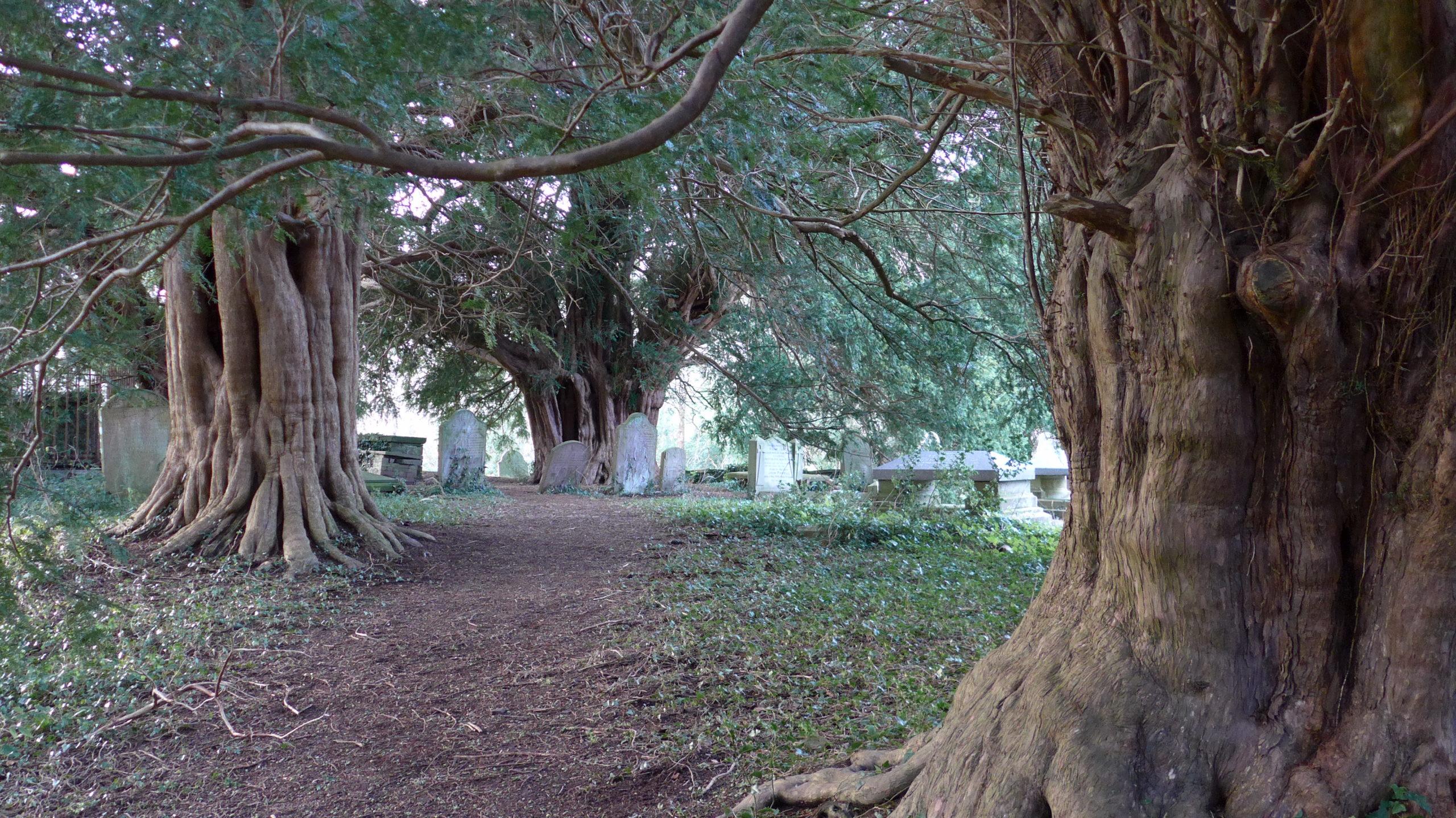 Llanfeugan Church Yews