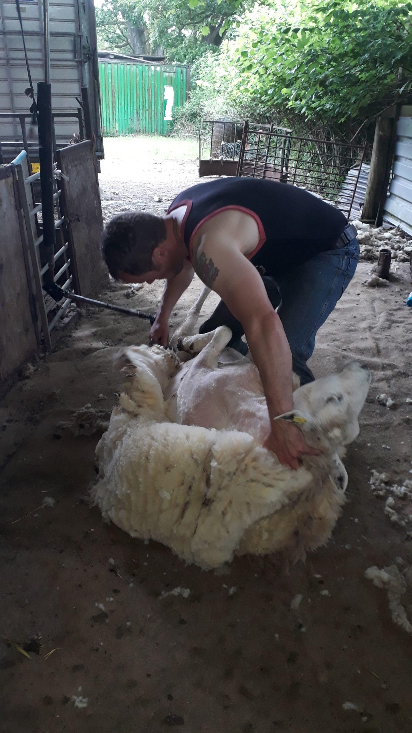 Huw Morgan shearing 2019